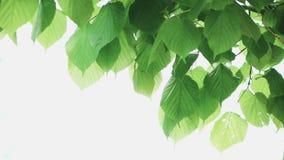 Groen blad dat op witte achtergrond wordt geïsoleerdr stock videobeelden