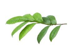 Groen blad dat op witte achtergrond wordt geïsoleerdr Stock Afbeeldingen