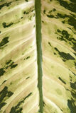 Groen blad - Dieffenbachia Stock Foto