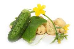 Groen blad en een komkommer Stock Foto