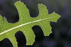 Groen blad in het achterlicht Royalty-vrije Stock Foto's