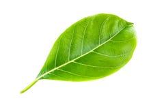 Groen blad jackfruit Geïsoleerdn op een wit Royalty-vrije Stock Foto's