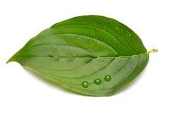 Groen blad met dalingen Stock Foto