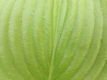Groen blad met dalingen van watergastheren Royalty-vrije Stock Afbeelding