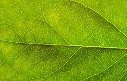 Groen blad met detailader stock afbeeldingen