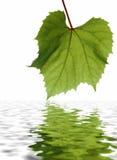 Groen blad met gedetailleerde aders Royalty-vrije Stock Foto