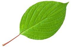 Groen blad met rode stam Stock Foto's