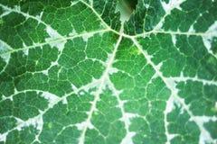Groen blad met witte de textuuraard van strepenpatronen voor achtergrond royalty-vrije stock foto