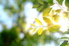 Groen blad op de boom met zachte verlichtingszonneschijn in rug en n Stock Foto's