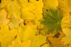 Groen blad op gele bladeren Stock Afbeeldingen