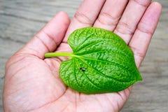 Groen blad op hand Stock Afbeelding