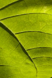 Groen blad op wit Stock Fotografie