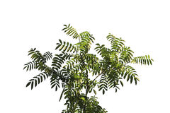 Groen blad op wit Stock Foto