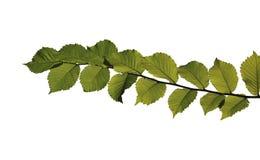 Groen blad op wit Stock Foto's