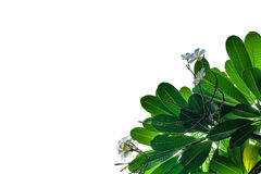 Groen blad op wit Royalty-vrije Stock Afbeeldingen
