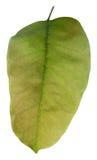 Groen blad op witte achtergrond Royalty-vrije Stock Foto