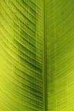 Groen blad, palm Stock Foto