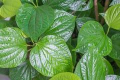 groen blad, Thais kruid Wildbetal Leafbush in tuin royalty-vrije stock foto's