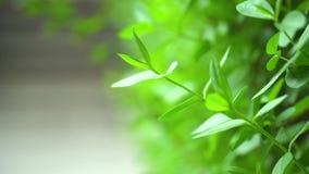 Groen blad van een struik stock footage