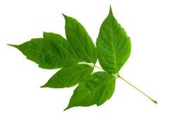 Groen blad van esdoornboom die op wit wordt geïsoleerd Stock Afbeelding