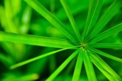 Groen Blad van familie Cyperaceae Stock Fotografie