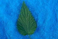 Groen blad van netel op blauwe wolstof royalty-vrije stock afbeelding