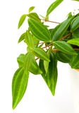 Groen blad van tradescantia stock foto