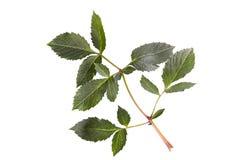 Groen blad van wilde die wijnstok op witte achtergrond wordt geïsoleerd Stock Fotografie