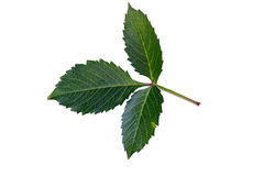 Groen blad van wilde die wijnstok op witte achtergrond wordt geïsoleerd Royalty-vrije Stock Fotografie