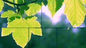 Groen bladclose-up op een vage grijze achtergrond met zonneverlichting stock videobeelden