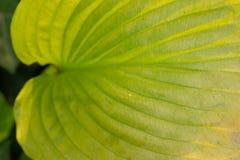 Groen bladdetail met zichtbare aders Achtergrond groene bladmacro stock foto's