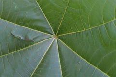Groen bladeren gestreept spinneweb Stock Afbeelding