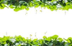 Groen bladerenframe dat op witte achtergrond wordt geïsoleerdw Stock Foto's