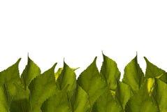 Groen bladerenkader Als achtergrond, wit, ruimte voor tekstinhoud Stock Foto