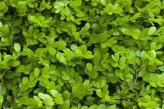 Groen bladmateriaal, textuur, achtergrond stock foto