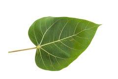 Groen Bodhi-Blad Stock Afbeelding