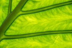 Groen boomblad met ader royalty-vrije stock foto's