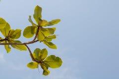 Groen boomblad met blauwe duidelijke hemel royalty-vrije stock foto's