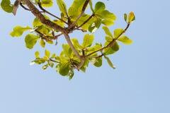 Groen boomblad met blauwe duidelijke hemel stock afbeeldingen