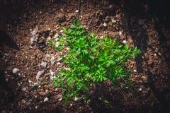 Groen Bush van krullende peterselie royalty-vrije stock afbeeldingen