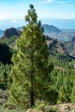 Groen Canarisch pijnboomboom en Bergenlandschap op Gran Canaria-eiland, Kanarie, Spanje royalty-vrije stock afbeelding