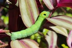 Groen Caterpillar Royalty-vrije Stock Afbeelding