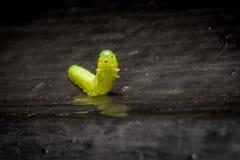 Groen Caterpillar op zwarte achtergrond Stock Afbeelding