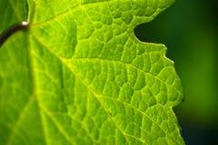 Groen chlorofyl waar het blad fotosynthese uitvoert stock foto