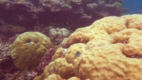 Groen chromis en porites koraal op het grote barrièrerif stock videobeelden