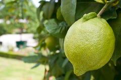 Groen citroenfruit Royalty-vrije Stock Fotografie