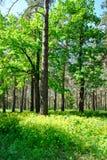 Groen de lentebos in zonstralen Royalty-vrije Stock Fotografie