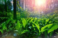 Groen de lentebos in zonstralen Royalty-vrije Stock Foto
