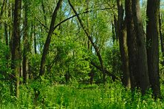 Groen de lentegebladerte in een bos in Vinderhoute, Vlaanderen stock foto