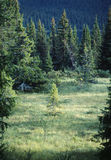 Groen de zomerbos van sparren Stock Foto's